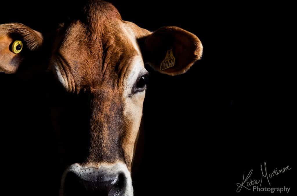jersey wiltshire hampshire devon photographer cow black background