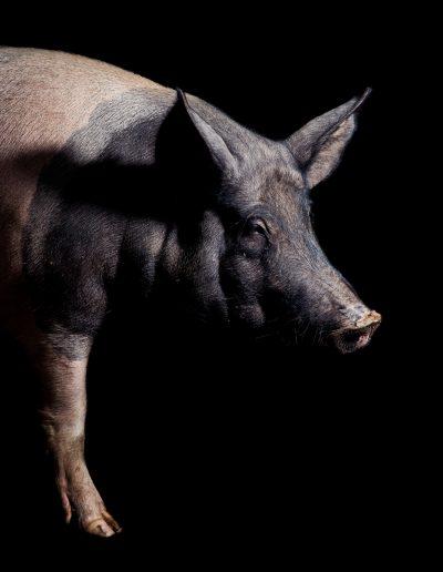 pig photographer wiltshire hampshire black background studio lit