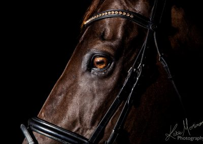 equine photographer wiltshire hampshire black background studio lit