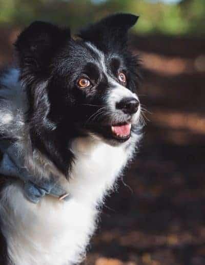 tournerbury estate woodland outdoor wedding katie mortimore photography dog canine collie bowtie